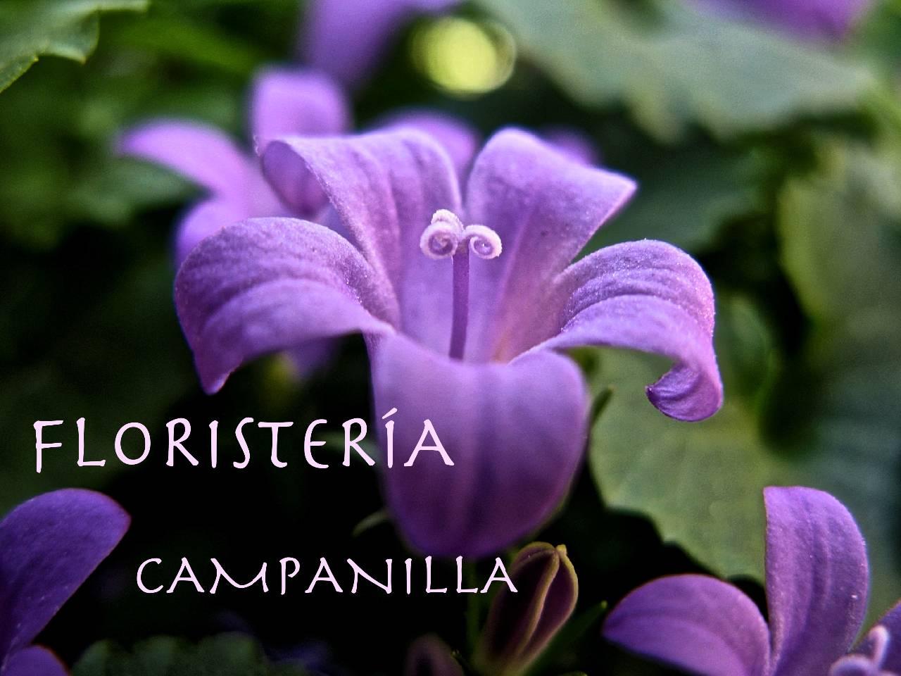 Campánula Carpática_Fotor2